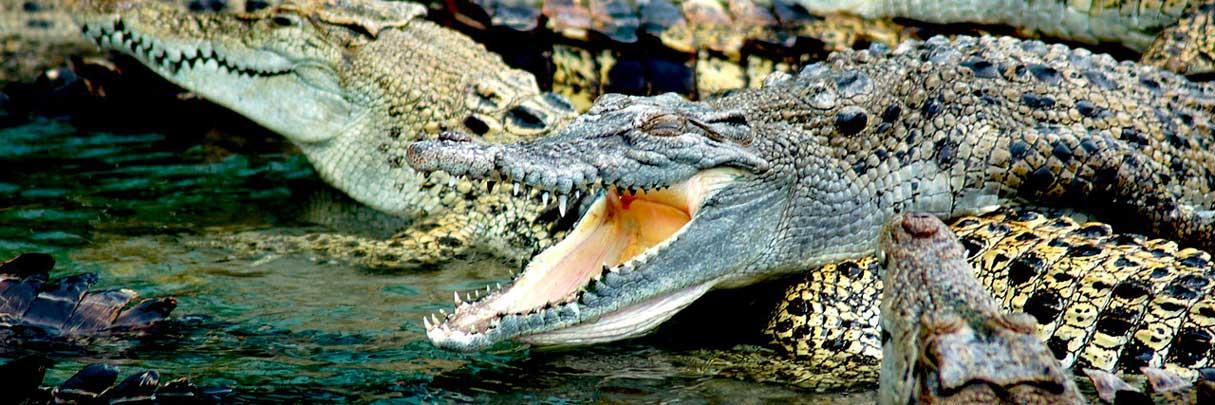 De krokodillenboerderij